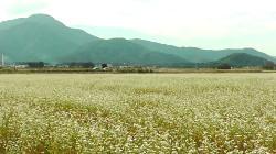 白いそばの花が咲いている