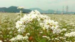 そばの花が満開