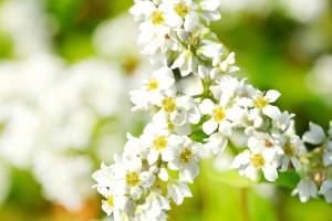 満開に咲いた白いソバの花
