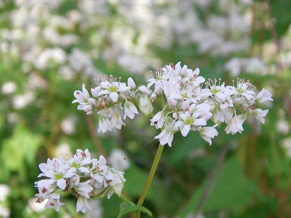 ソバの白くて可憐な花