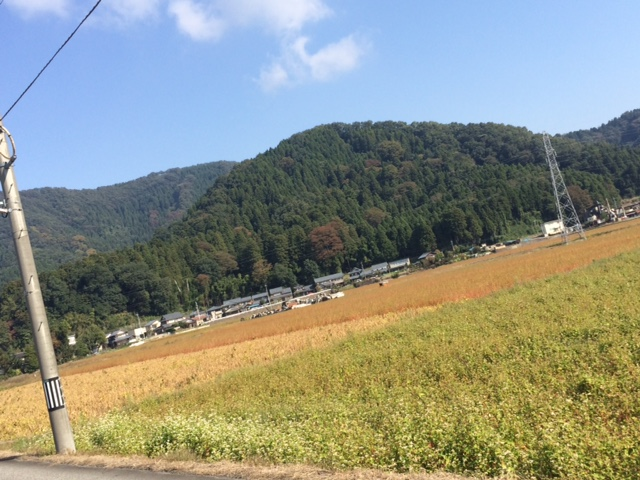 福井県越前市そばの生長状況
