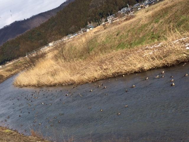 製粉所前の川にいる鴨