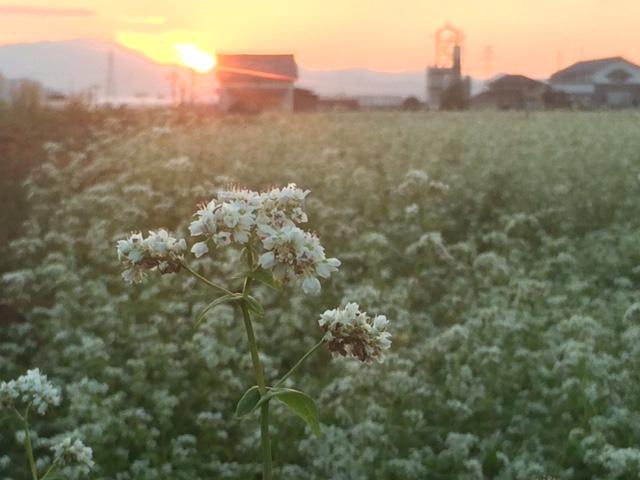 2016年産福井県秋蕎麦の花