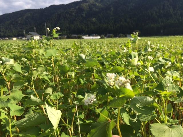 風に揺られるソバの白い花