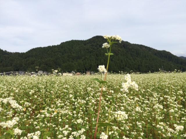 一本だけひょろんと成長したソバの花