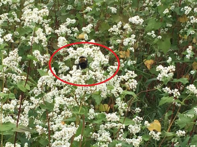 ミツバチなどの虫がブンブンと飛んでいるそば畑