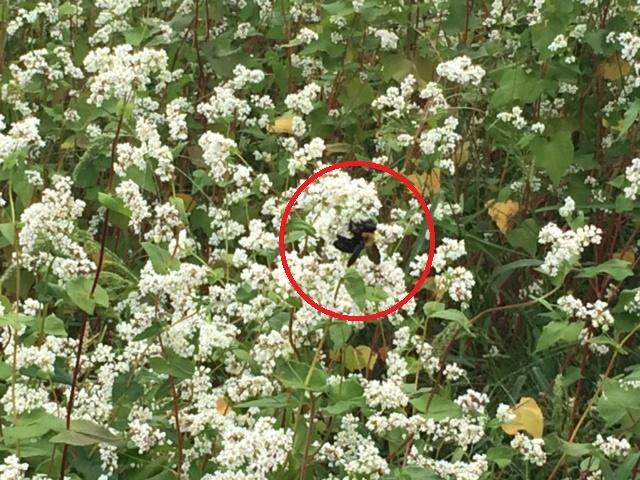 そばの受粉の手伝いをするミツバチなどの虫