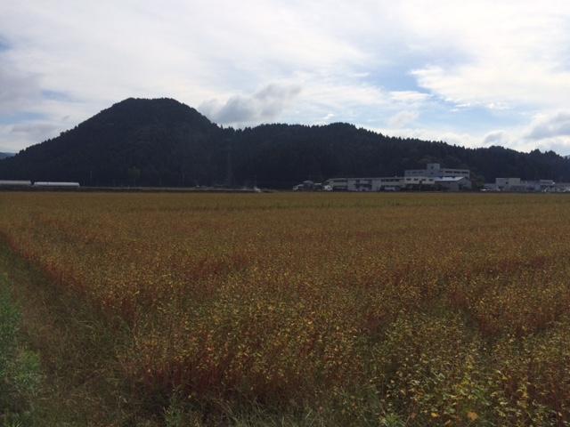 湿害の影響を受けたそば畑