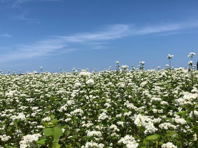福井県三国町の満開のソバの白い花