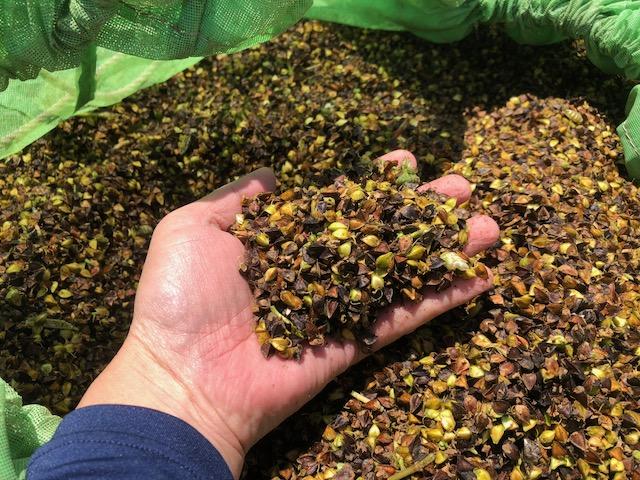 メッシュ袋に入っている刈取りされた夏の新そばの実