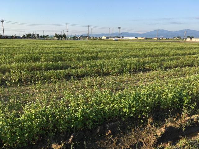 湿害により生育不良のそば畑の一部