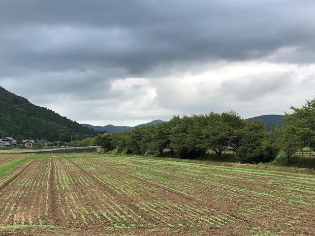 ポツポツと発芽が見られるソバ圃場