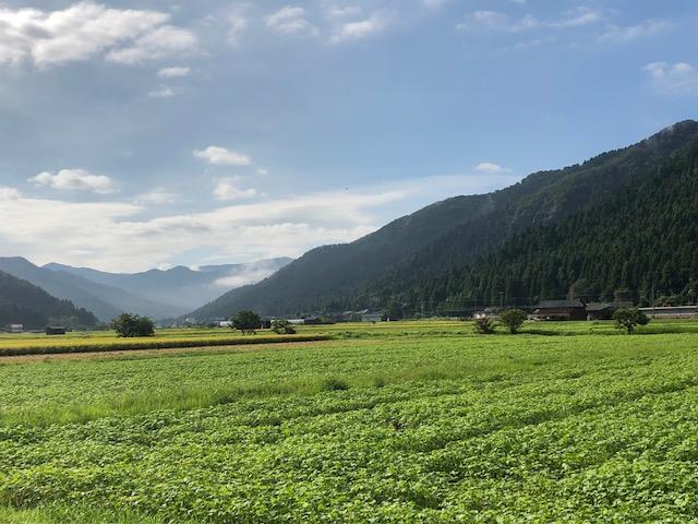発芽して緑一面のソバ圃場