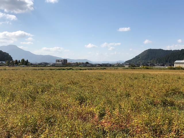刈取り前のソバ圃場