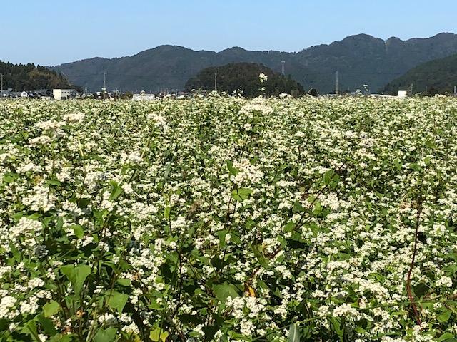 そばの白い花が満開の圃場