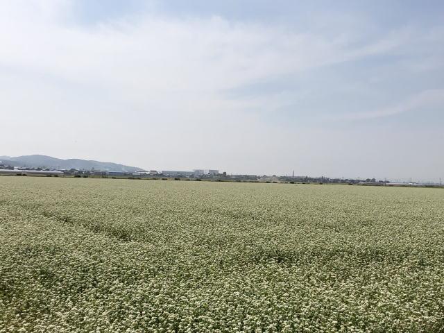 令和元年6月の福井県福井市河合地区のそば畑全景