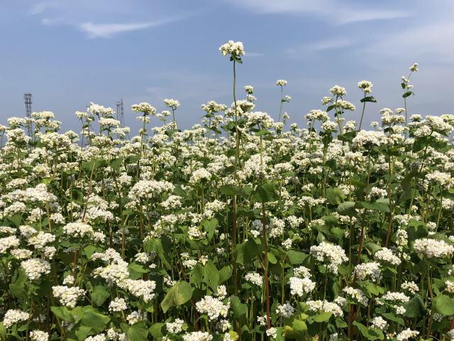夏そばの白い花が満開
