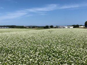 白い花満開の夏そば栽培地