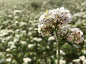 夏そばの花のアップ
