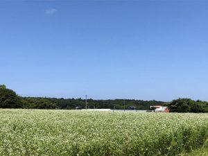 収穫作業中の夏そば