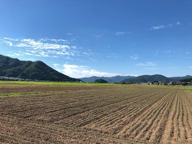 ソバ小畦立て播種法にて播種したそば畑