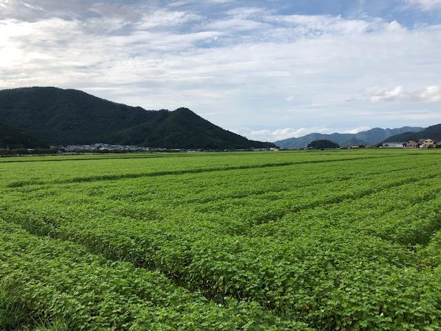 種播きから一ヶ月経過した越前市中津山地区のそば畑