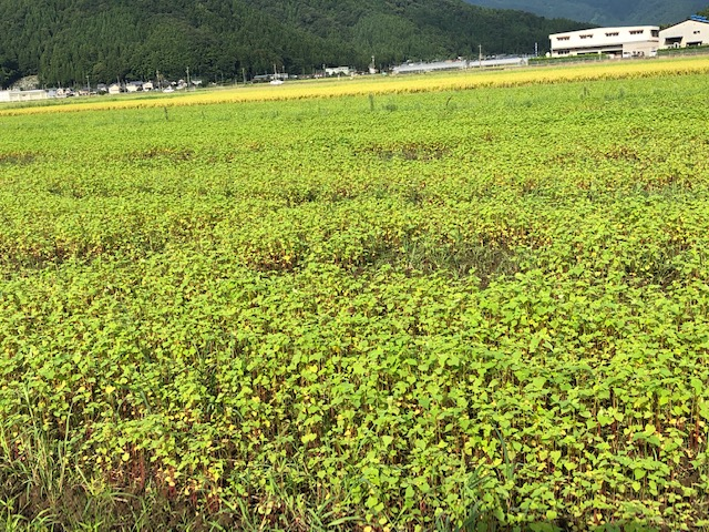 長雨により生育不足のそば畑