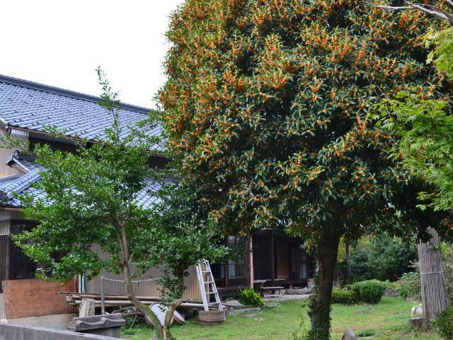 赤坂みらい塾の庭とキンモクセイの木