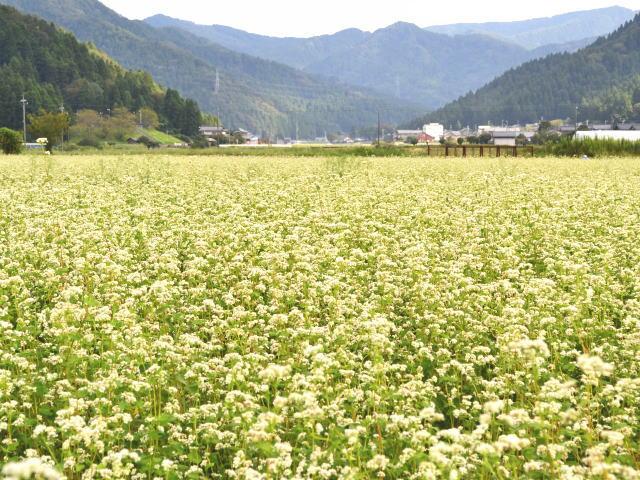 白い花満開のそば畑