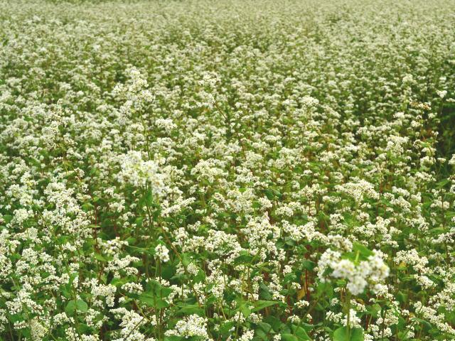 ソバの白い花の近景