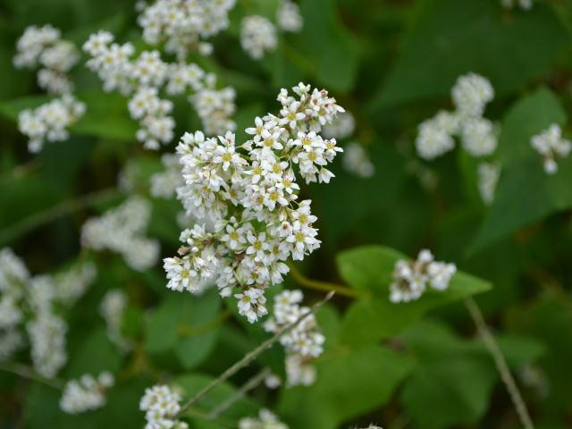 ソバの白い花のアップ