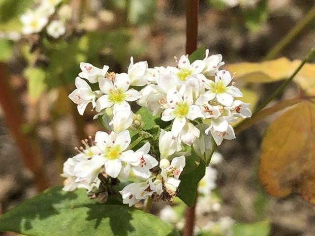 まだ白い花をつけている夏ソバ