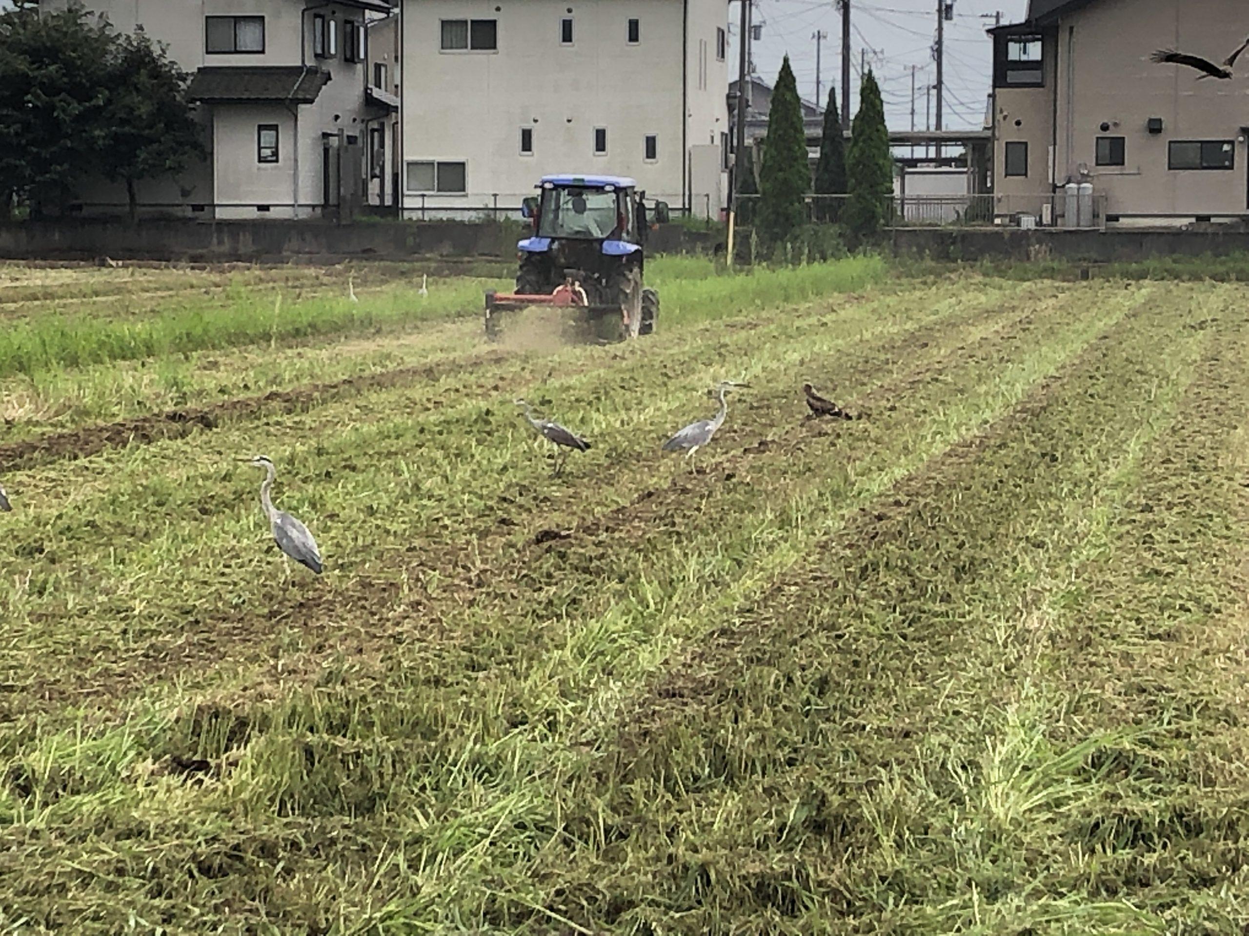 令和元年福井県産秋ソバの草刈耕起中に群がる鳥たち