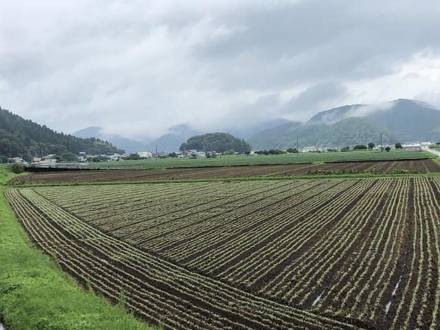 令和2年福井県産秋ソバの発芽圃場全景状況