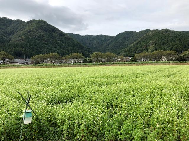 開花した令和2年福井県産秋ソバの圃場全景状況