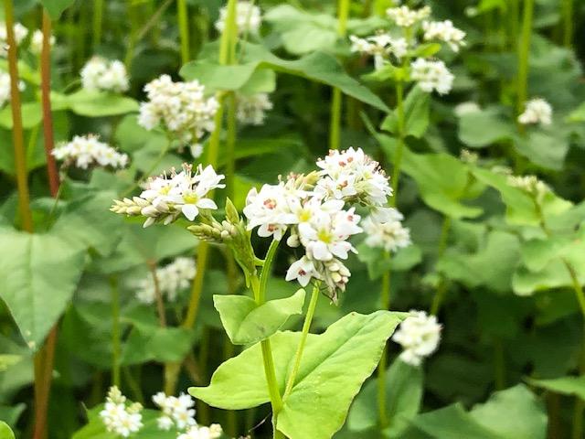 開花した令和2年福井県産秋ソバの白い花