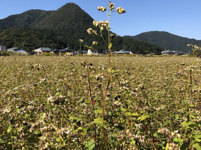 収穫直前の令和2年福井県産秋ソバの圃場全景状況