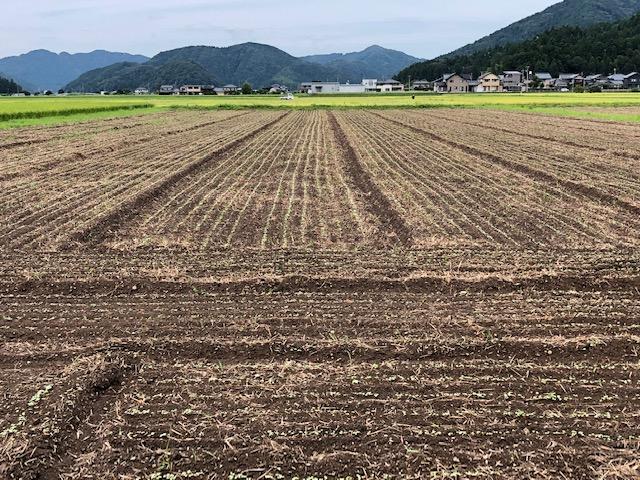 令和3年福井県産秋ソバの発芽近接状況