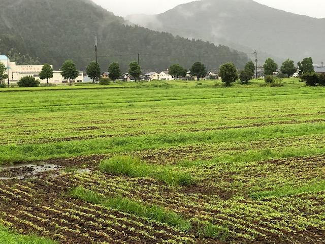 降り続く長雨で滞水したソバ圃場